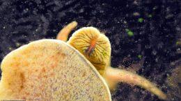 Rabbit Snail Feeding On Soft Algae Growing On Glass