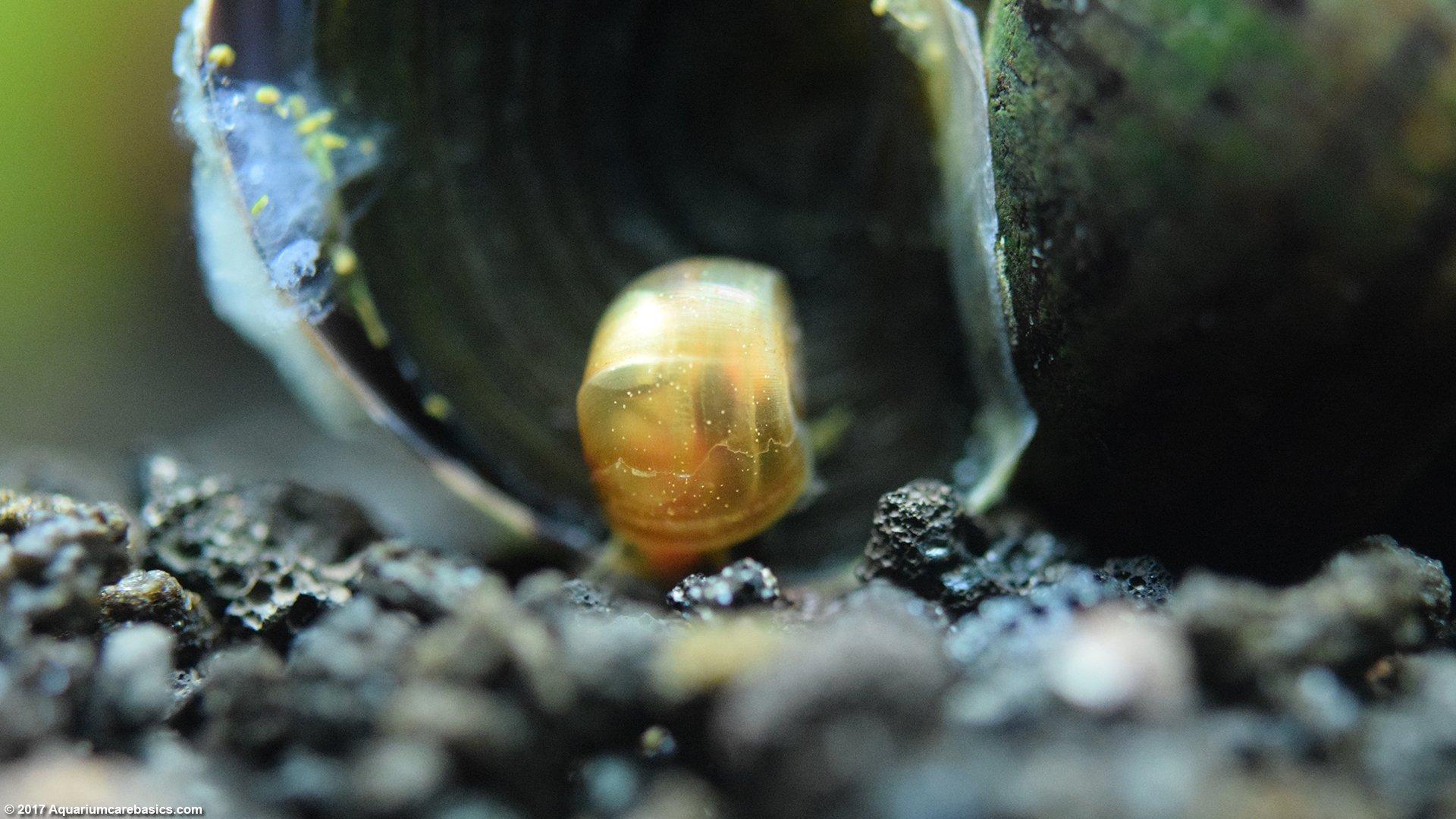 Aquarium snail ampulyaria: content and reproduction 12