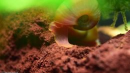 Ramshorn Snail Body And Foot On Lava Rock