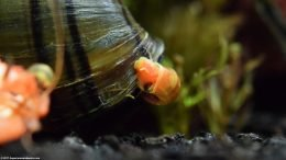 Ramshorn Snail Cleaning A Mystery Snail Shell