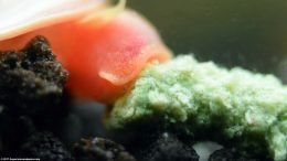 Ramshorn Snail Eating A Bottom Feeder Pellet