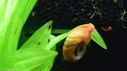 Ramshorn Snail Eating Soft Algae