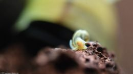 Ramshorn Snail Eyes, Closeup