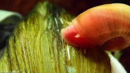 Ramshorn Snail Head Clam Shell