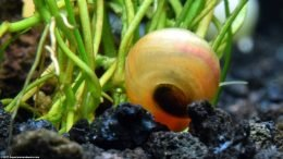 Ramshorn Snail On Micro Sword Plant