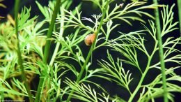 Ramshorn Snail On Water Sprite