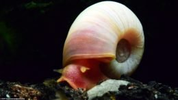 Ramshorn Snails Are Good Tank Cleaners
