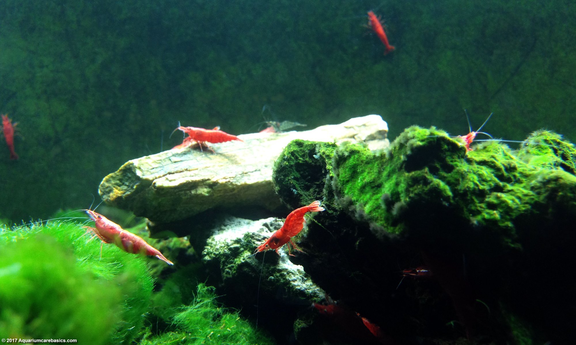 Red Cherry Shrimp Make Great Algae Eaters
