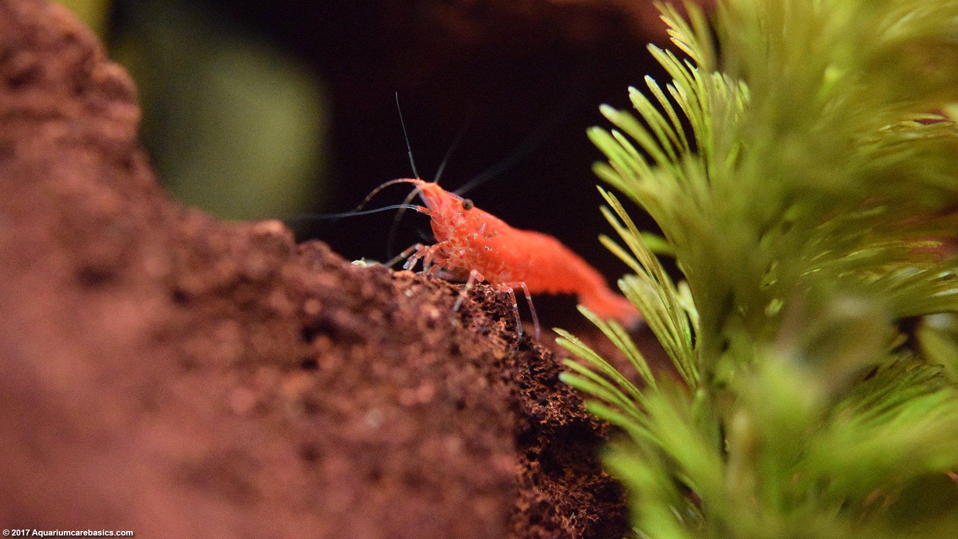 Red Cherry Shrimp, Care, Feeding, Tank Mates & LifespanFreshwater Shrimp Care