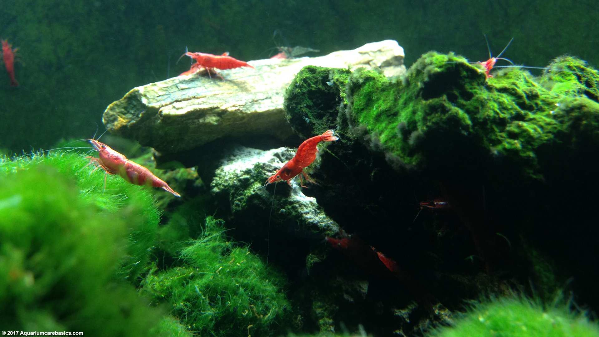 Keeping A Red Cherry Shrimp Tank for Freshwater Setups