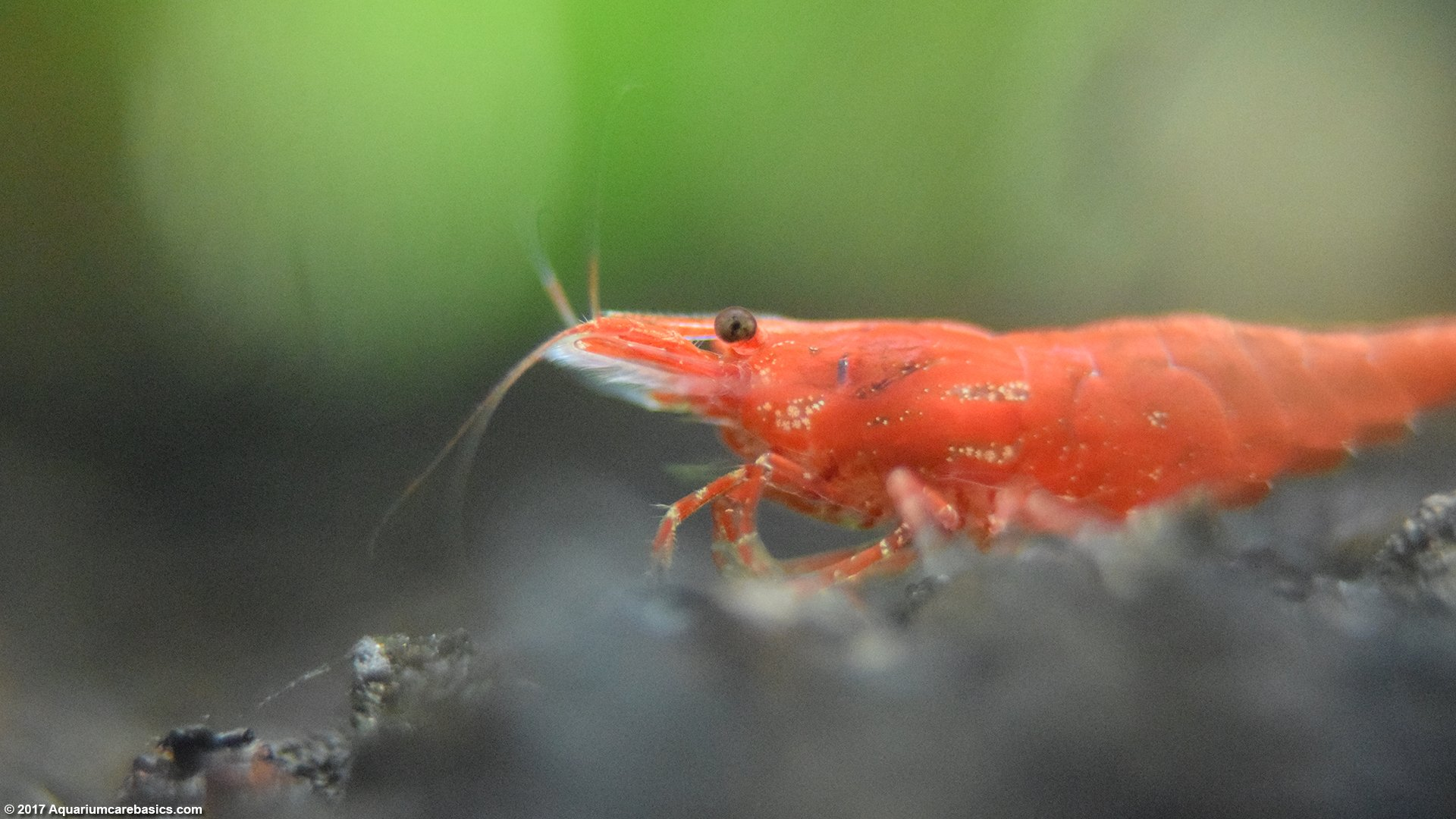 Red Cherry Shrimp, Care, Feeding, Tank Mates & Lifespan
