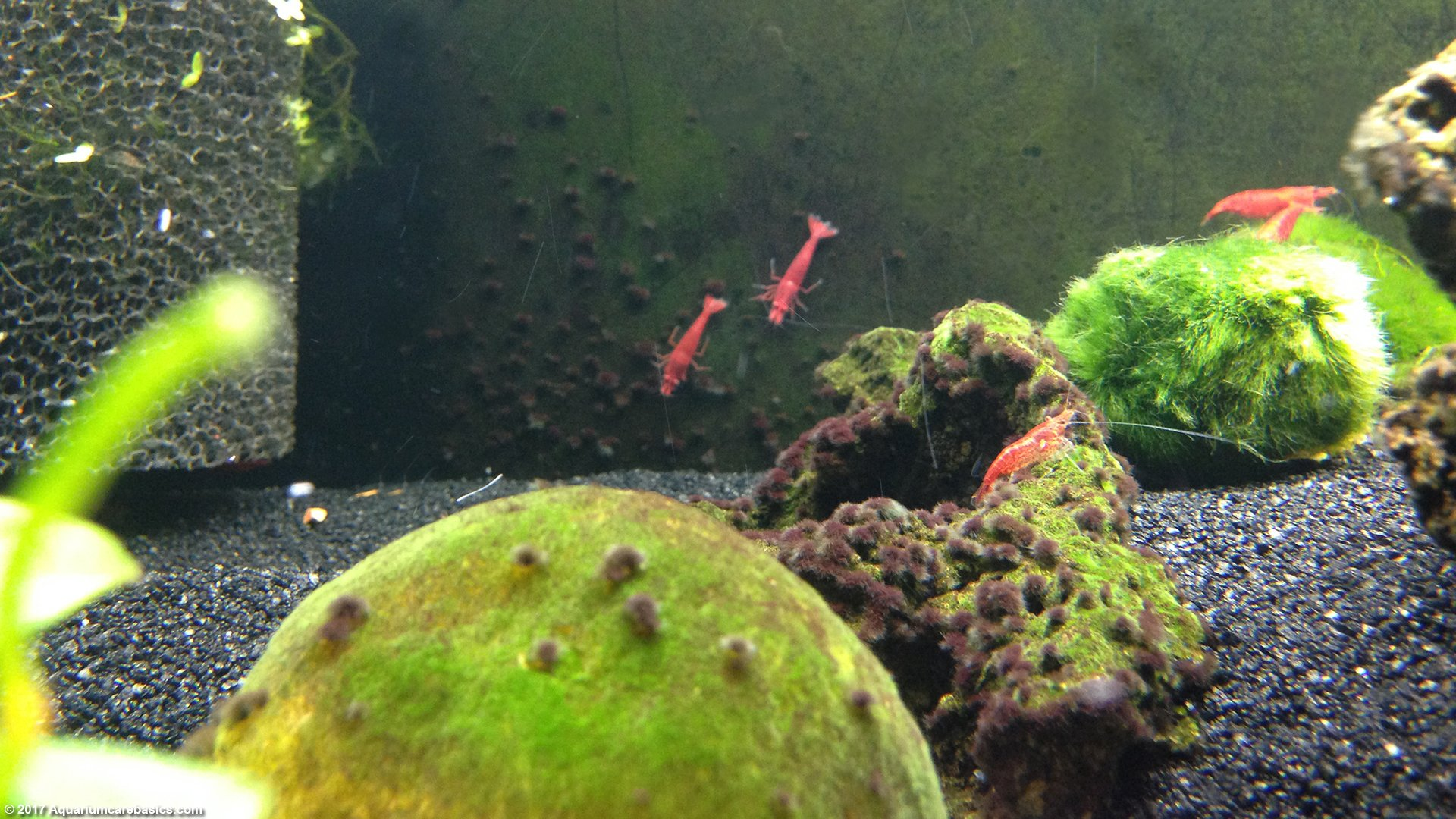 Red Cherry Shrimp Eating Algae Growing On Glass