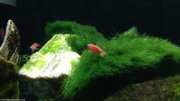 Red Cherry Shrimp On Moss Ball