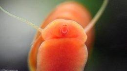 Red Ramshorn Snails Busy Algae Eating