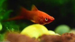 Red Velvet Swordtail In A Freshwater Community Fish Tank