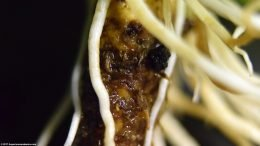 Rhizome Closeup On Amazon Sword