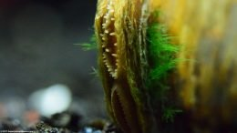 Siphons On Asian Gold Clam, With Green Growth On Shell