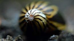 Stripe Patterns On A Zebra Nerite Snail