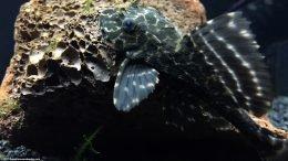 Suckermouth Catfish On Lava Rock