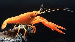 Tangerine Crayfish In A Freshwater Aquarium