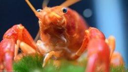 Tangerine Crayfish, Compound Eyes