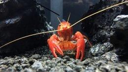 Tangerine Crayfish Eyes, Upclose