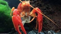 Tangerine Crayfish Feeding On Earthworm Flakes