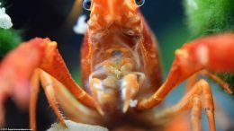 Tangerine Crayfish Holding Flake Food