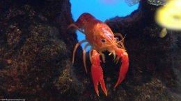 Tangerine Lobster on Lava Rock