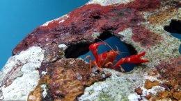 Tangerine Lobster In A Freshwater Aquarium