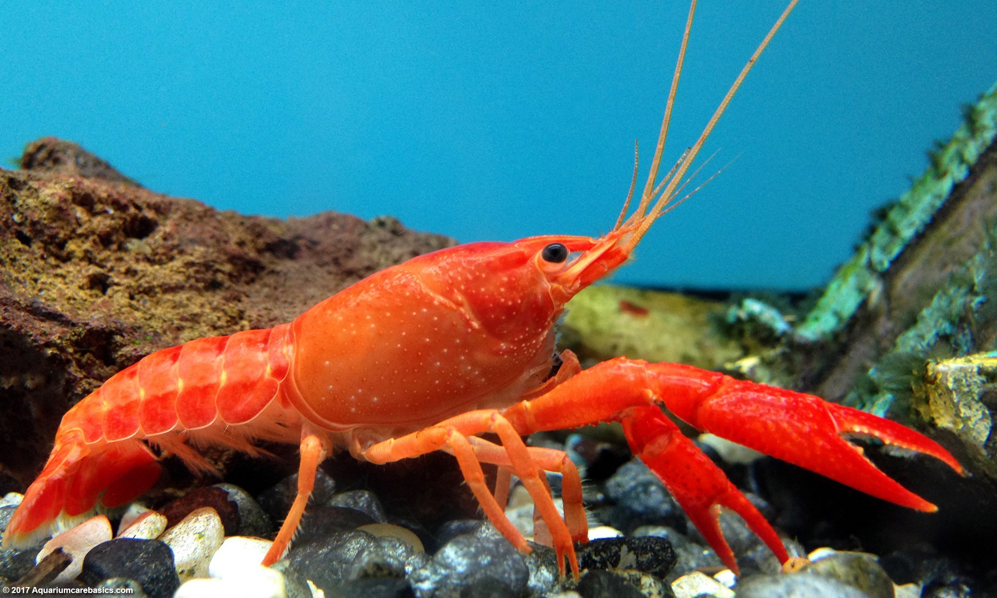 Tangerine Lobster: Care, Size, Color, Food, Feeding & Tankmates