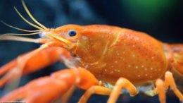 Tangerine Crayfish Cephalothorax