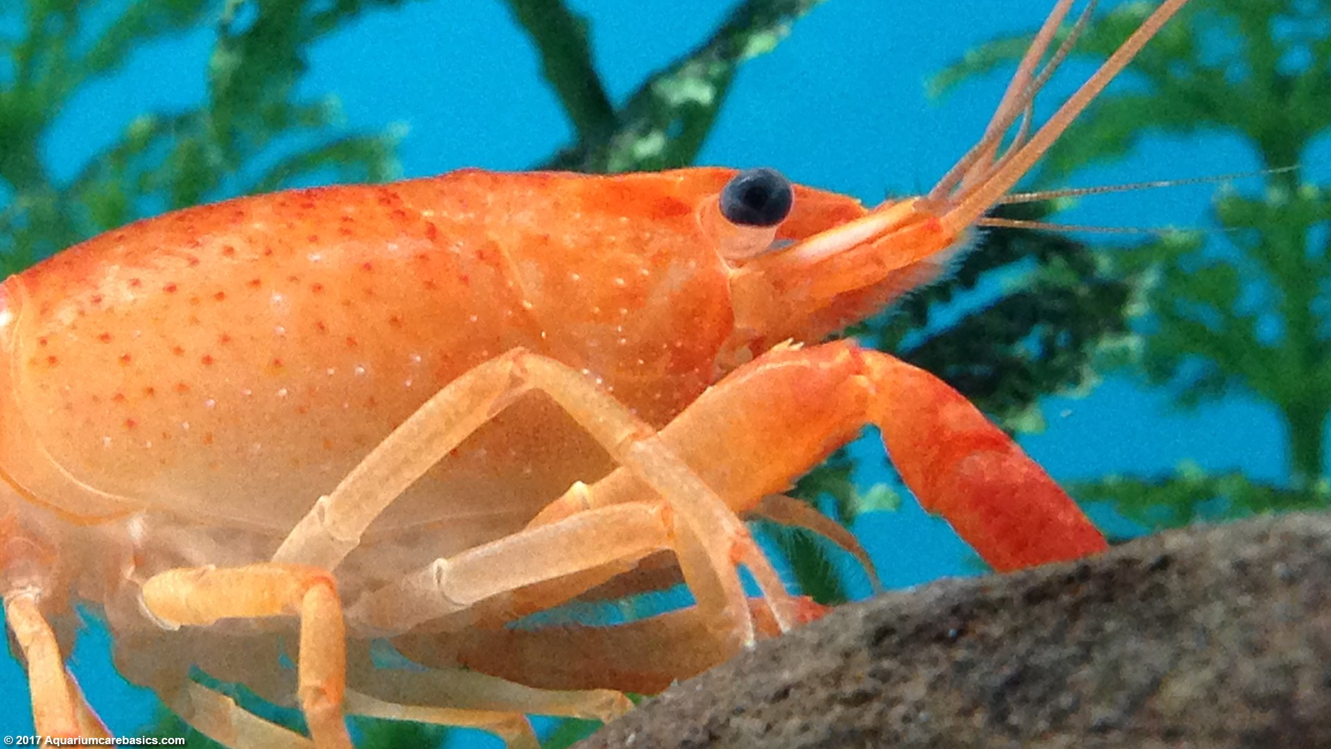 Aquarium Crayfish: Think About A Species Tank With Many ...