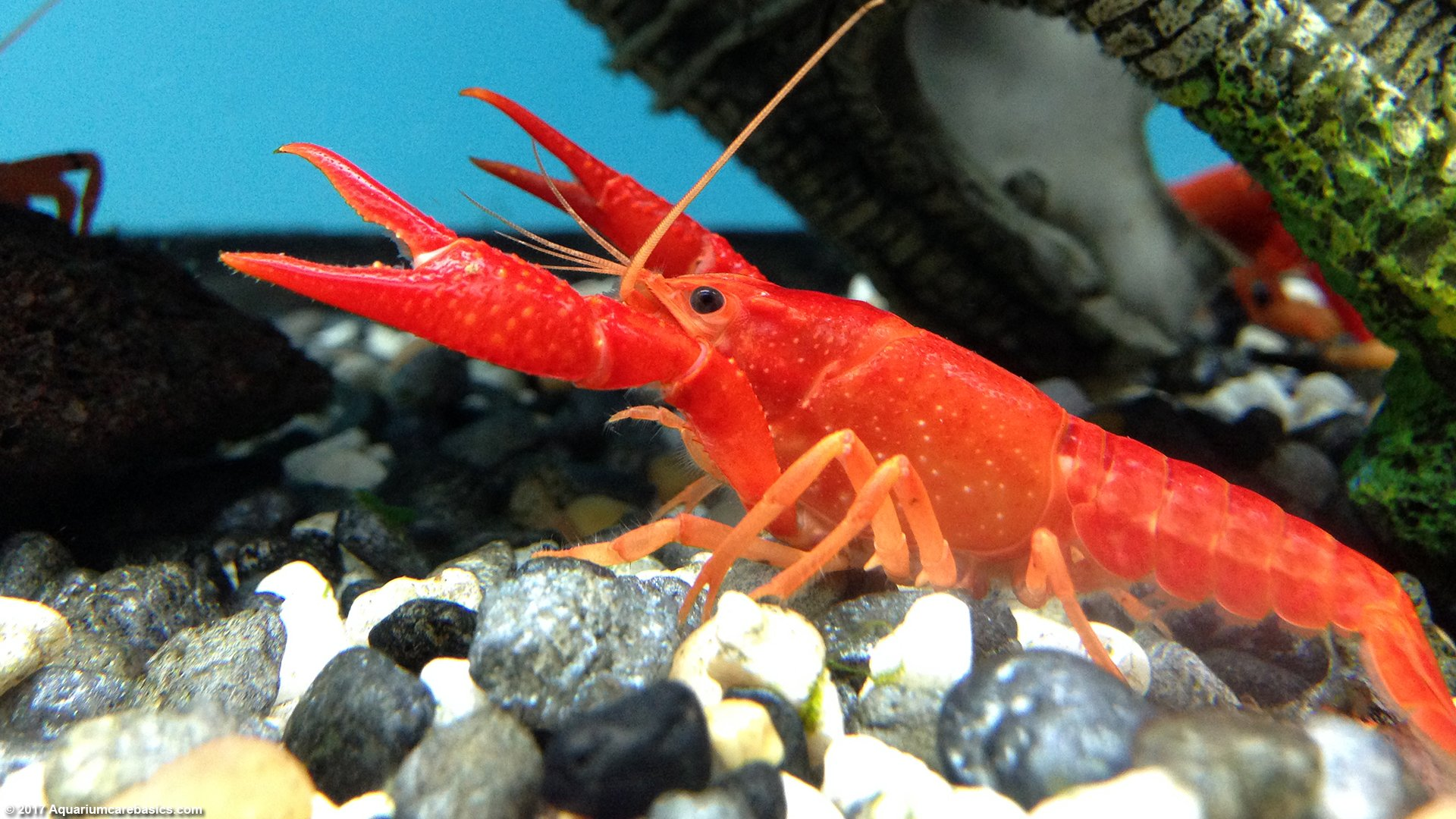 Aquarium Crayfish: Think About A Species Tank With Many Places to Hide