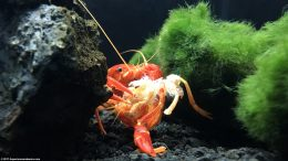 Tangerine Lobster Eating Molted Shell For Minerals