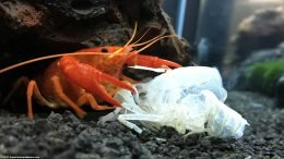 Tangerine Crayfish Eating A Molted Shell