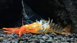 Tangerine Crayfish, Showing Its Empty Shell After Molting