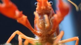 Tangerine Lobster Front Claws