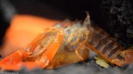 Tangerine Crayfish Molt, Leaving Empty Shell