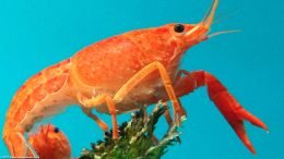 Tangerine Lobster Showing Its Thorax And Eye Stalk