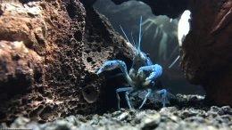Territorial Blue Lobster In A Freshwater Aquarium