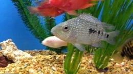 Texas Cichlid In A Freshwater Aquarium