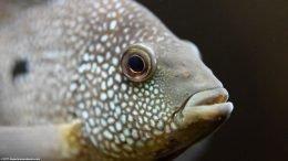 Texas Cichlid Eye, Closeup