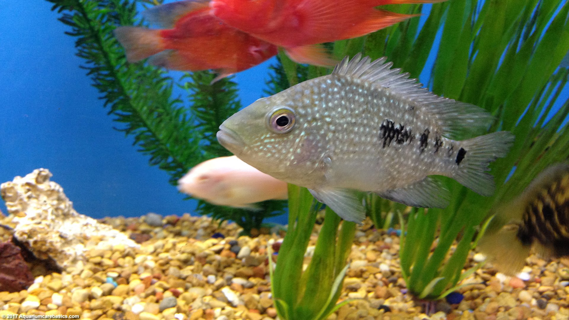 freshwater aquarium fish species for tropical tankstexas cichlid in a freshwater aquarium