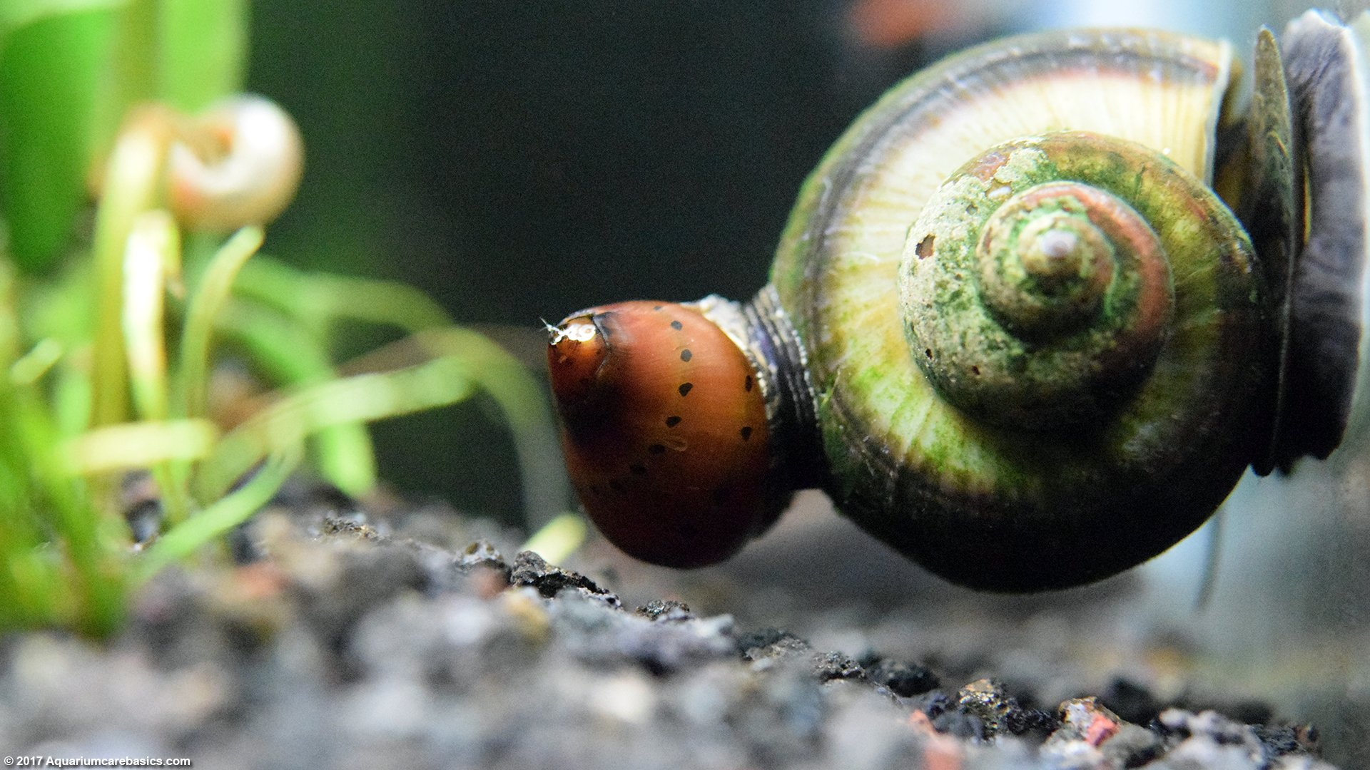 Nerite Snails: Algae Eating, Care, Lifespan, Eggs - Video