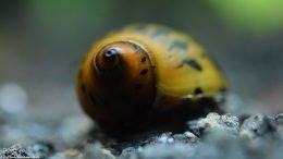 Tiger Nerite Snail Color, Brown