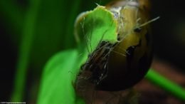 Tiger Nerite Snail Eating Dead Plant Matter