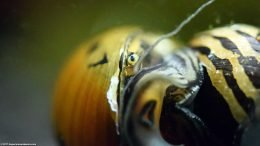 Tiger Nerite Snail Eye, Closeup