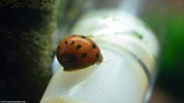 Tiger Nerite Snail Feeding On Food Growing On Plastic Tubing