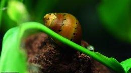 Tiger Nerite Snail On Lava Rock